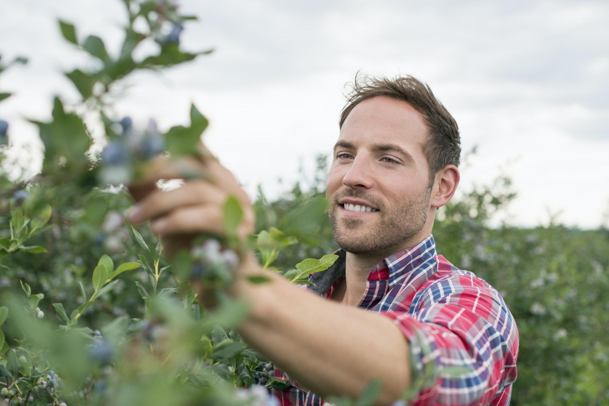 Organic fruit orchard. A man picking blueberries, Cyanococcus, fruit.
